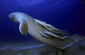 Dugong avec rémoras remontant à la surface Mer Rouge -  -  -